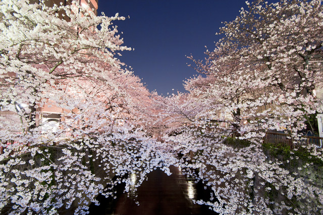 cherry blossoms, night