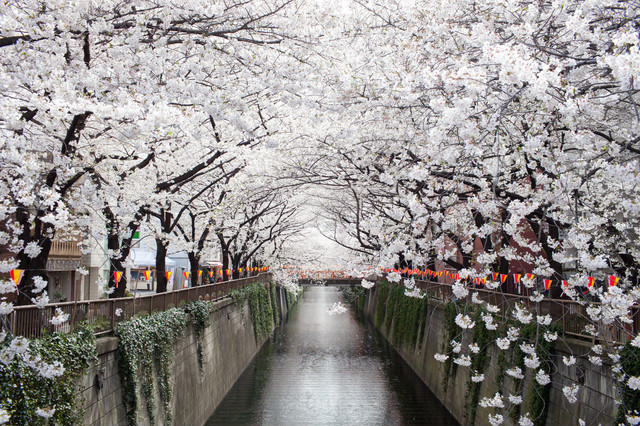 Cherry Blossoms by the canal, day