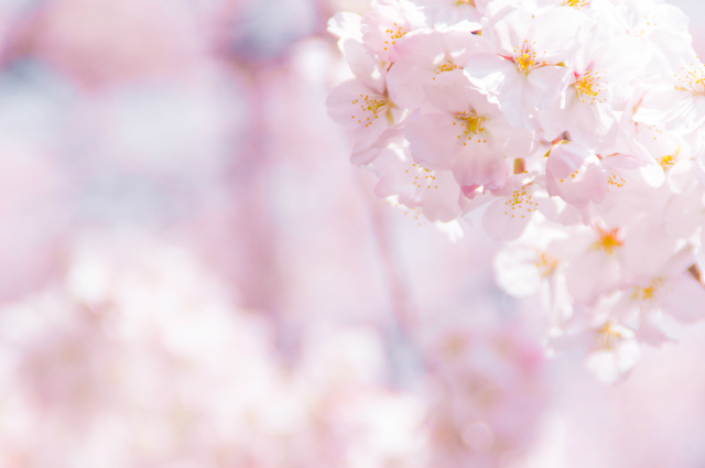 close up of cherry blossom in Spring